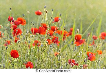 red poppy field