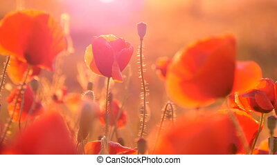 Red poppy field under the rays of a splendid sunrise in...
