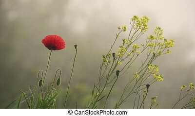 Red poppy flower blooming in the morning, soft natural...