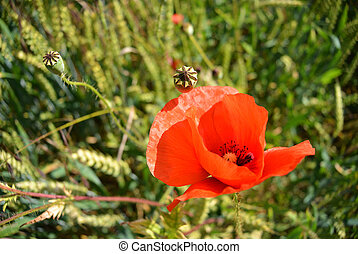 red poppy flower in a field of green wheat