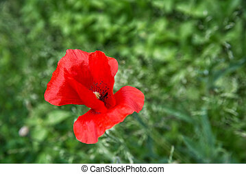 red poppy flower in summer field on a background of green grass