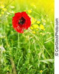 Red poppy flower in the field
