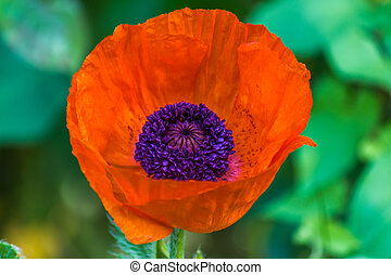 red poppy flower in the garden