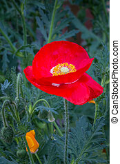 red poppy flower in the garden