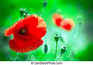 Red poppy flower in the green field.