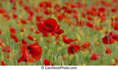 Red poppy flower in the wind