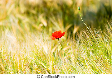 red poppy flower in yellow wheat field close up