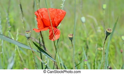 red poppy flower, insect closeup waving on the wind, summer daylight environment,