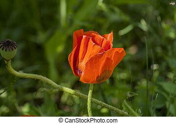red poppy flower on green grass background
