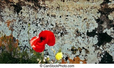 Red poppy flower on the ruins of ancient amphitheatre of ancient city Hierapolis near Pamukkale, Turkey