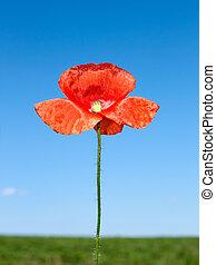 Red poppy flower over field