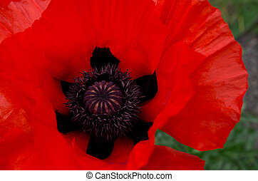 Red poppy flower - Close up of red poppy flower with...