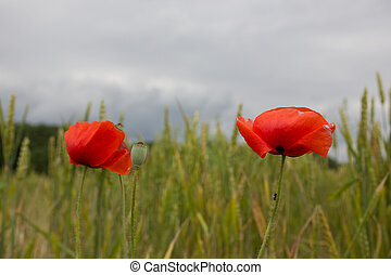 Red poppy flower with field in background