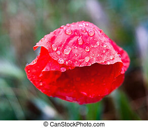 Red poppy flower with raindrops.