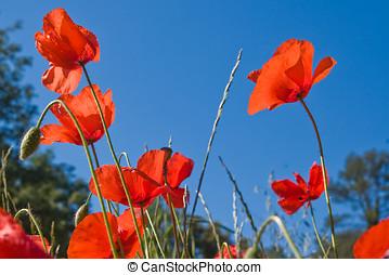 Red poppy flowers against blue sky