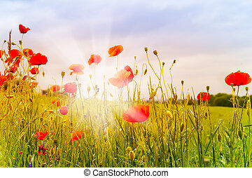 Red poppy flowers and sunbeams