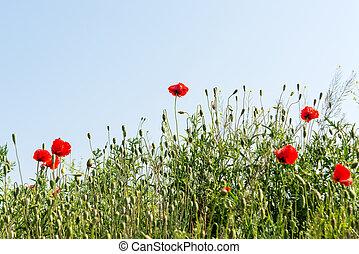 Red poppy flowers growing in the meadow