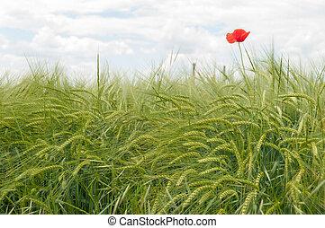 Red poppy flowers in a wheat field.