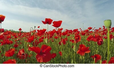 Red Poppy Flowers In Green Meadow