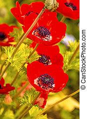 red poppy flowers in spring
