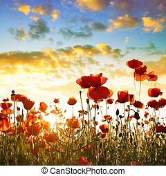 Red poppy flowers in the spring field.