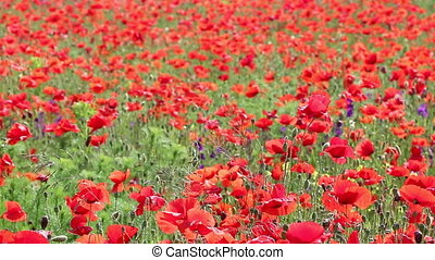 red poppy flowers meadow