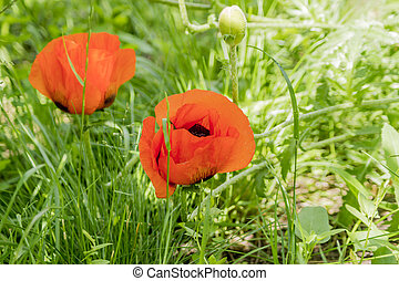 red poppy flowers on green grass background