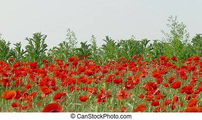 Red poppy flowers on the field - Red poppy flowers on a...