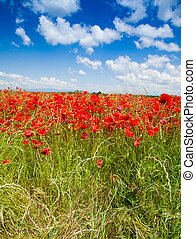 Red poppy flowers under spring sky
