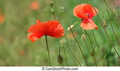 Red poppy flutters in the wind. Buds, flowers and capsule of...