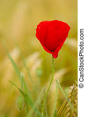 red poppy in a barley field
