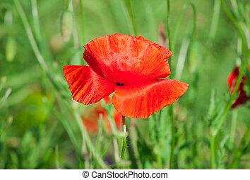 Red poppy in a field