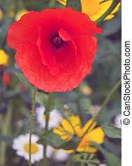 red poppy in a meadow in summer with wild flowers