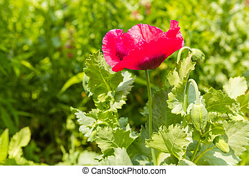 Red poppy in a summer meadow on sunny day