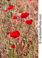 Red poppy in a summer meadow