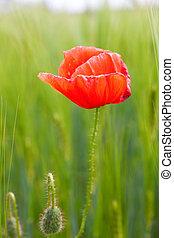 Red poppy in a wheat field