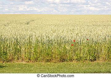 Red poppy in corn field