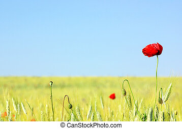 Red Poppy in field .
