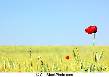 Red Poppy in field .