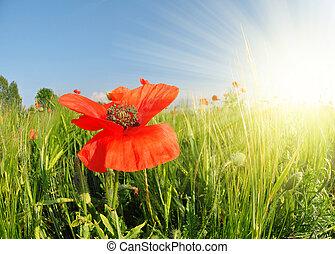Red poppy in green wheat field.