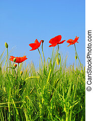 red poppy in green wheat field