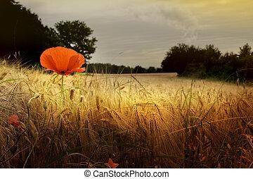 Red poppy in prairie
