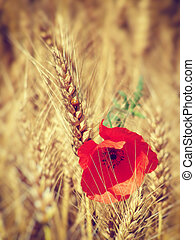 Red poppy in the field of wheat
