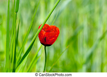 red poppy in the meadow
