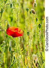 red poppy in the wheat field - big red poppy flower in the...