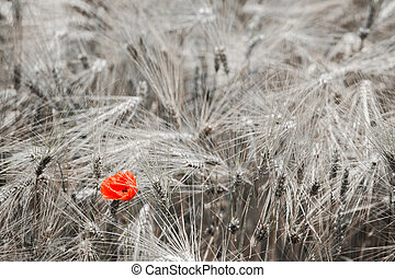 Red poppy in the wheat
