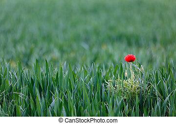 Red poppy in wheat field.