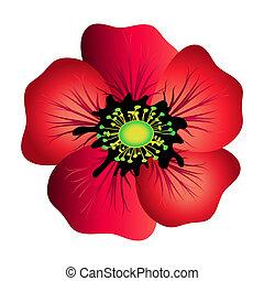 Red poppy isolated on white. Spring flower