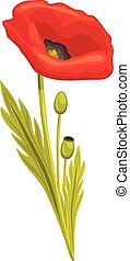 Red poppy isolated on the white