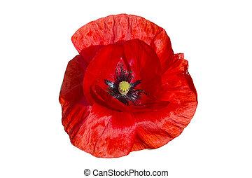 Red poppy isolated on white background - Beautiful single...
